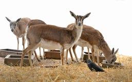 Persian gazelle Gazella subgutturosa subgutturosa Stock Photography