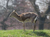 Persian gazelle on meadow Royalty Free Stock Photography