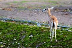 Persian gazelle Stock Photo
