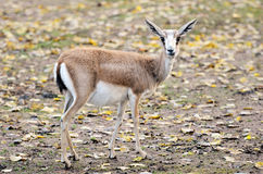 Persian gazelle Stock Images