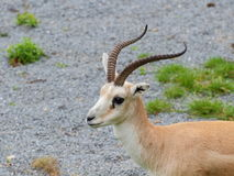 Persian gazelle portrait Stock Photo
