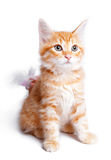 Persian  ginger kitten. Stock Photo