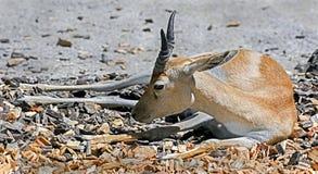 Persian goitered gazelle 2 Stock Image