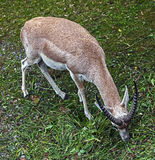 Persian goitered gazelle 3 Royalty Free Stock Images