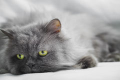 Persian gray cat Stock Photo