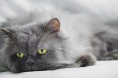 Persian gray cat Stock Photo