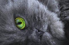 Persian gray cat Stock Photography