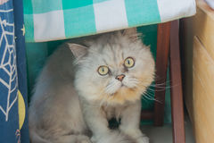 Persian gray cat sitting on white floor in the room. Royalty Free Stock Photography