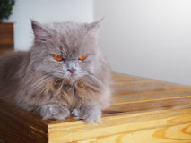 Persian grey cat with orange eyes Royalty Free Stock Photo