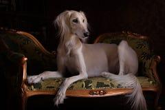 Persian Greyhound Saluki in Royal interior Royalty Free Stock Photo