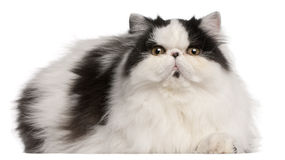 Persian Harlequin cat, 6 months old, lying royalty free stock image