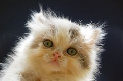 Persian kitten Royalty Free Stock Photography