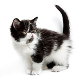 Persian kitten Stock Photography