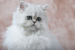 Persian Kitten 2. White Persian kitten with pink background Stock Images