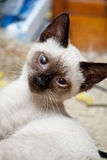 Persian kitten. Cute persian kitten tilting his head Royalty Free Stock Photography