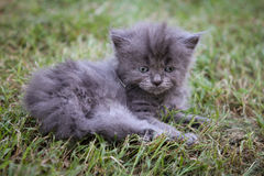 Persian Kitten Stock Photo