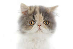 Persian kitten. In front of a white background royalty free stock photos