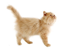 Persian kitten Royalty Free Stock Images