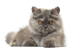 Persian kitten, 3 months old, lying Royalty Free Stock Photo