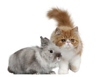 Persian Kitten, 3 months old, and Rabbit Stock Image