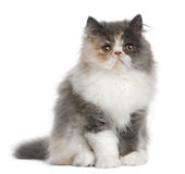 Persian Kitten, 3 months old, sitting Royalty Free Stock Photography