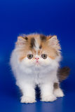 Persian kitten. On blue background Stock Image