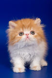 Persian kitten. On blue background Stock Photos