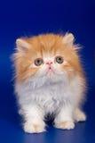 Persian kitten. On blue background stock photos