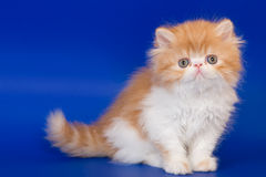 Persian kitten. On blue background stock images