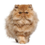 Persian kitten, 4 months old, walking Royalty Free Stock Photo