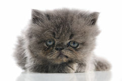 Persian kitten Royalty Free Stock Photo