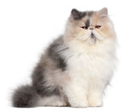 Persian kitten, 6 months old Stock Images