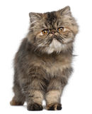 Persian kitten, 6 months old, standing Stock Photo