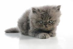 Persian kitten Stock Images
