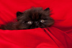 Persian kitten. Black persian kitten in red background fabric Royalty Free Stock Images