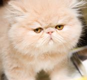 Persian kitten royalty free stock photos
