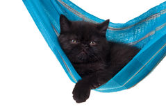Persian kitten in blue hammock isolated on white. Black persian kitten in blue hammock isolated on white Royalty Free Stock Image