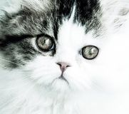 Persian Kitten. Cat mono cute Royalty Free Stock Photos