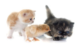 Persian kitten and chick Royalty Free Stock Photography