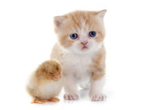 Persian kitten and chick. In front of white background Stock Photography