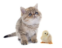 Persian kitten and chick. In front of white background Royalty Free Stock Photography
