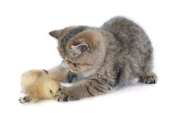 Persian kitten and chick. In front of white background Royalty Free Stock Image