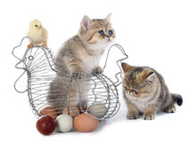 Persian kitten and chick. In front of white background Royalty Free Stock Photos