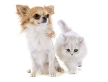 Persian kitten and chihuahua Stock Image