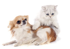 Persian kitten and chihuahua Royalty Free Stock Image