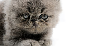 Persian kitten close up Royalty Free Stock Images