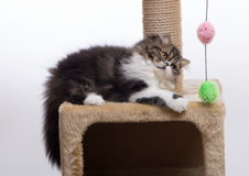 Persian kitten of dark coloring. Lies on one side Stock Photography