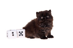 Persian kitten with dice isolated on white. Black persian kitten with gambling dice isolated on white Royalty Free Stock Photos
