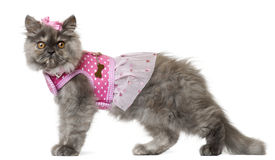 Persian kitten dressed in pink, 3 months old Stock Photos