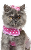 Persian kitten dressed in pink, 3 months old Royalty Free Stock Photos